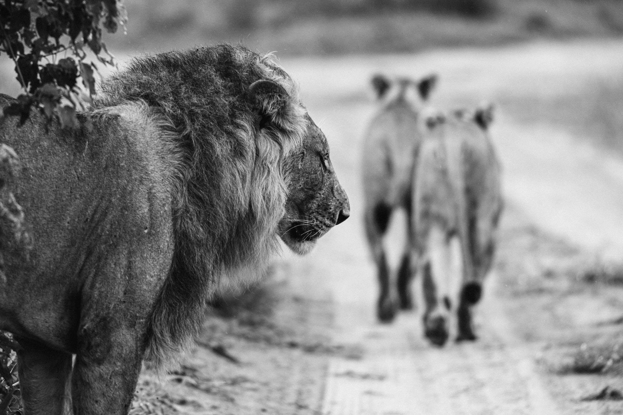 Voyage, Afrique, Botswana, Animaux, Sauvage, Reserves, Preservés, Espaces, étendues, Brousse, Elephants, Autruches, Rhinocéros, Girafes, Oiseaux, Lions, Lionnes, Hippopotames, Paysages, Marais, Biches, Impalas, Aigle, Delta, Okavango, Chutes, Eau, Victoria, Botswana, Zimbabwe, Zebres, Gnous,