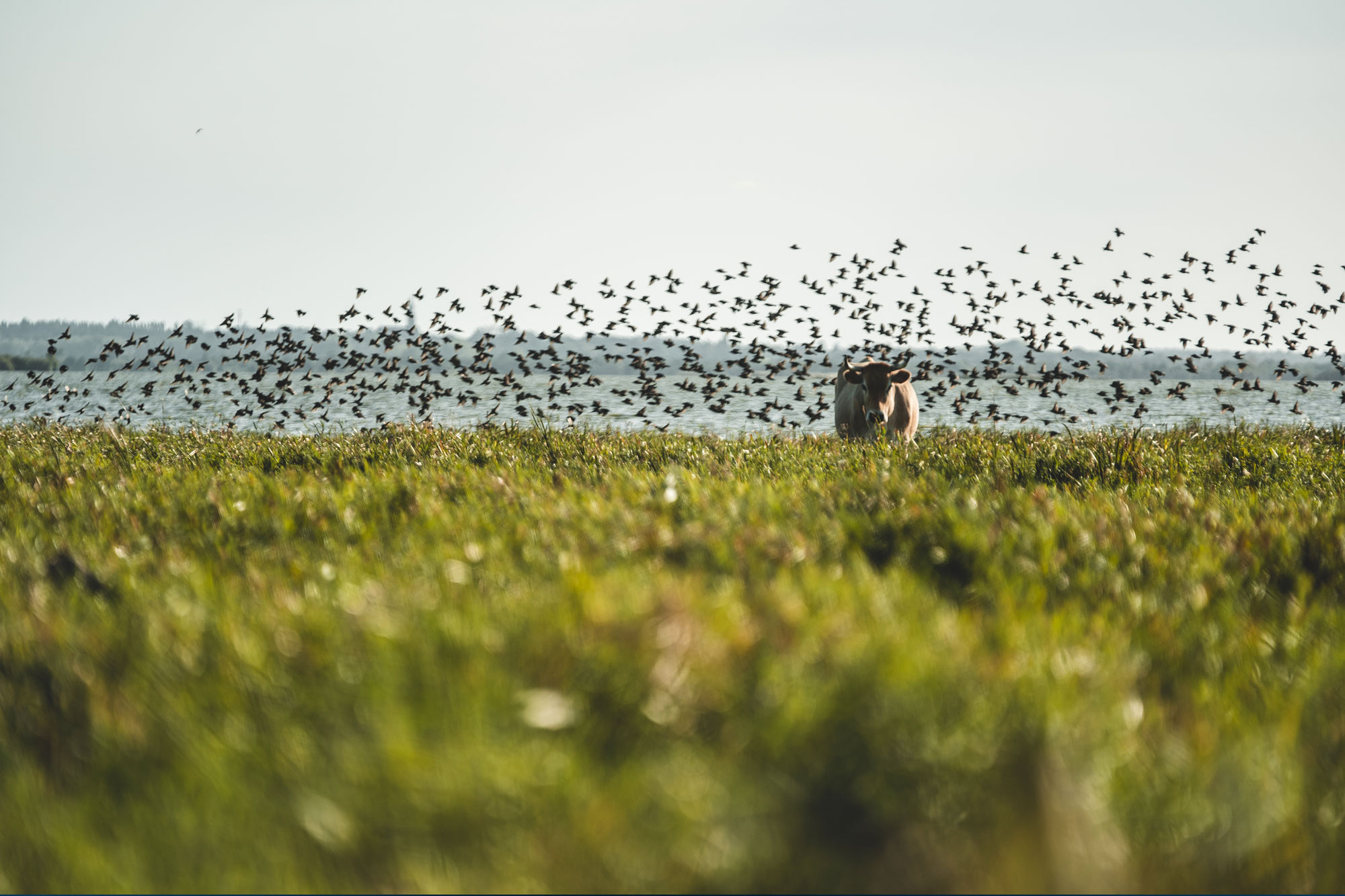 Tourisme, Lac, Grand-Lieu, Réserve, Ornithologique, Nature, Loire-Atlantique, Ballade, Animaux, Oiseaux,